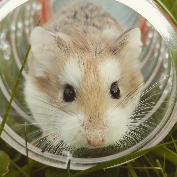 hamster-1149177_1280(1)